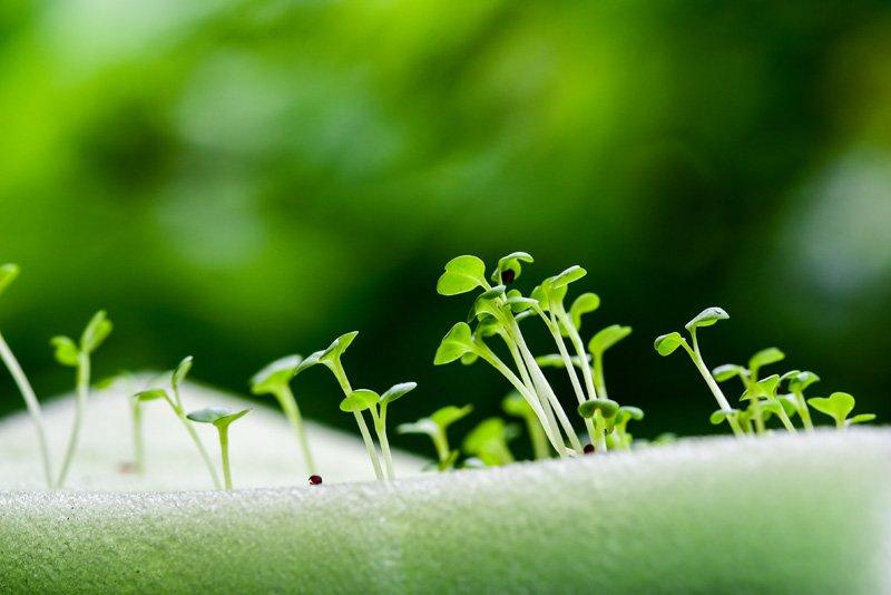 Seedlings in Phenolic Foam
