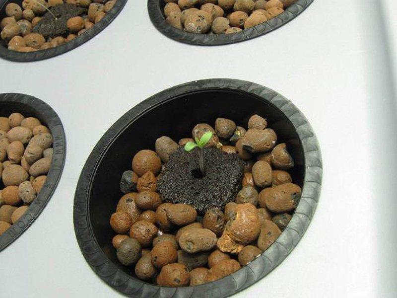 Seedling in a Grow Plug in hydroton