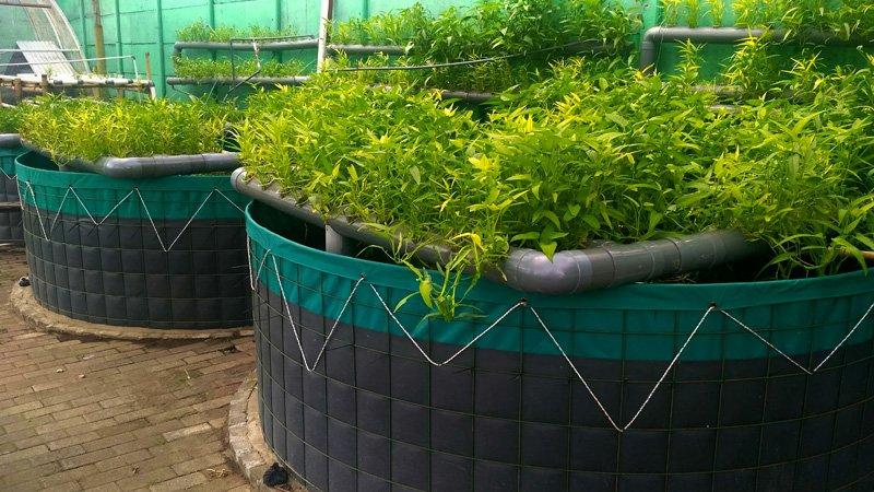 Aquaponic plants
