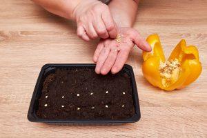 Bell Pepper seed harvest